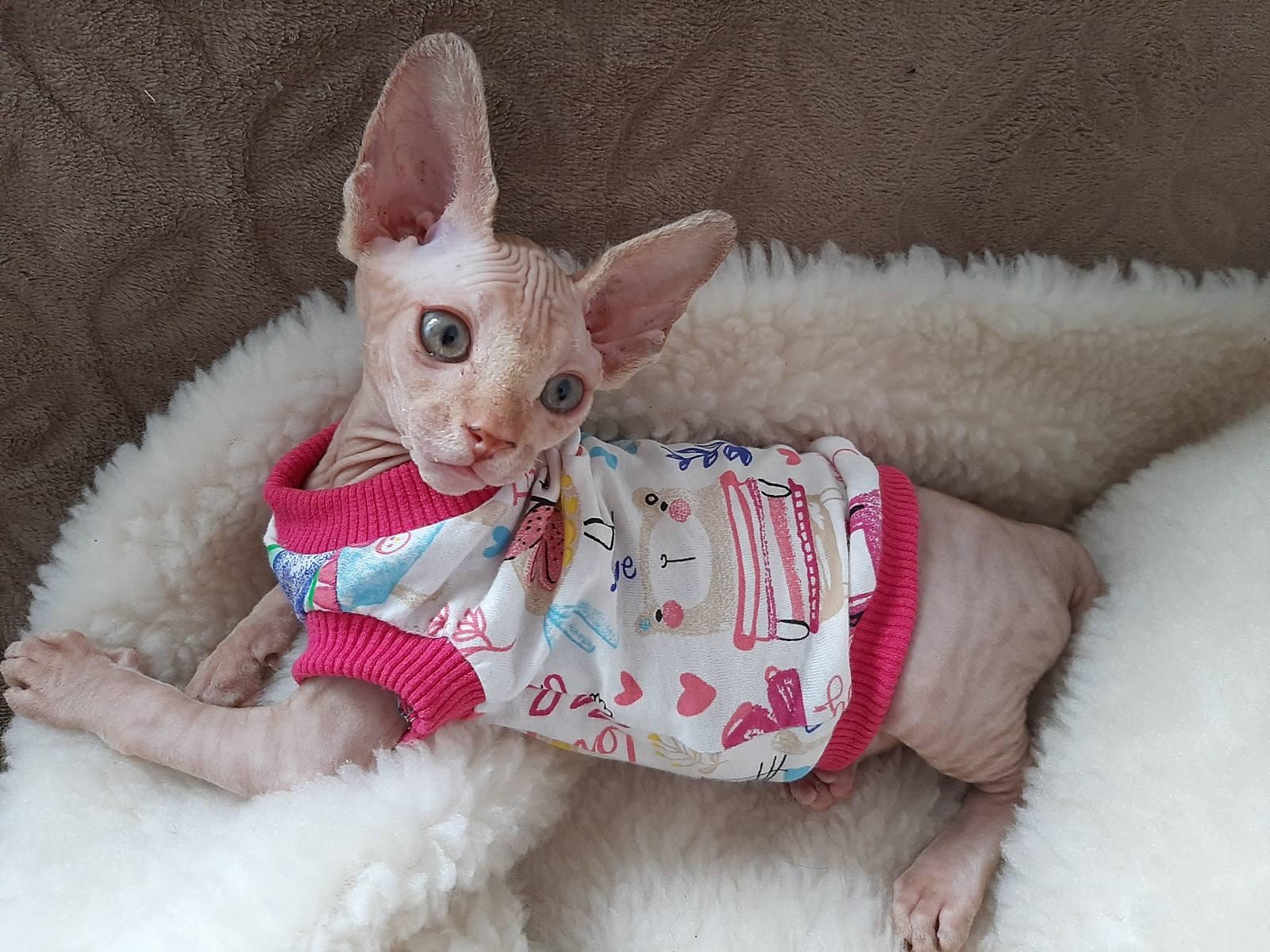 Sphynx cat Sonya