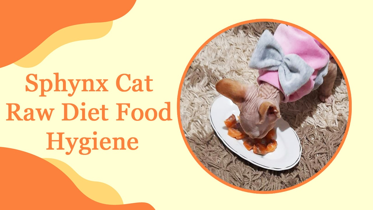 Sphynx Cat Raw Diet Food Hygiene